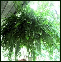 boston fern care instructions