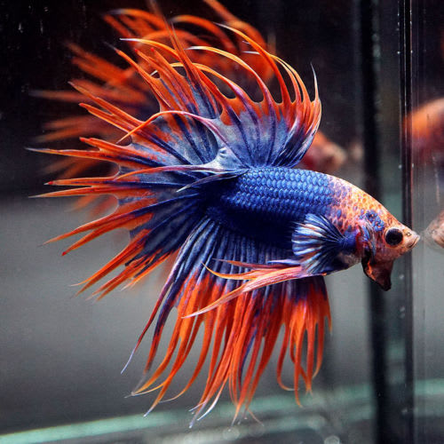 male betta fish care instructions